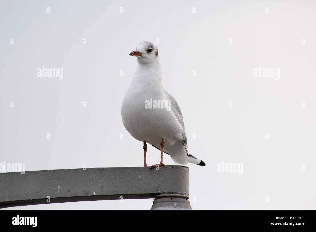 Common Gull (Larus canus) standing on a lam post. - Stock Image