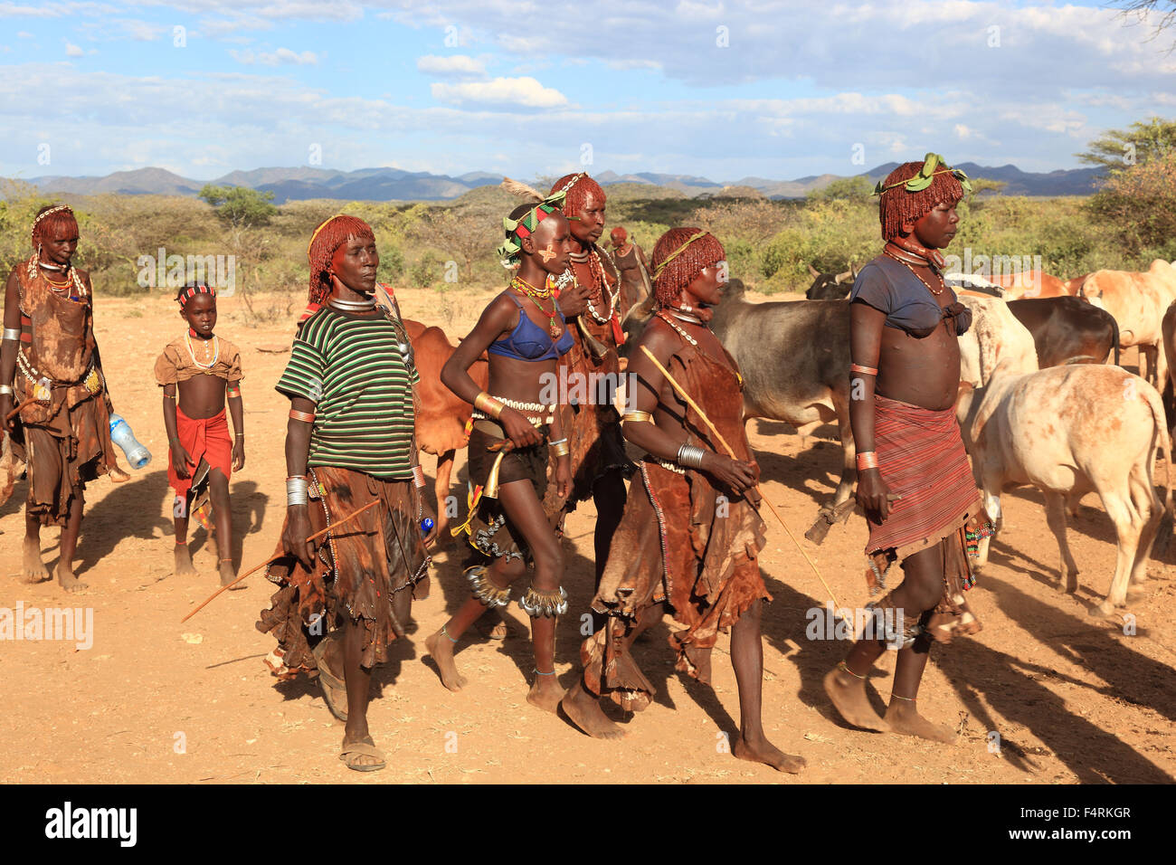 Omo region, the tribe of the hammer, hammer, hammer, hammer, Amar or Amer, bulls for the initiation ritual, ceremony, Stock Photo