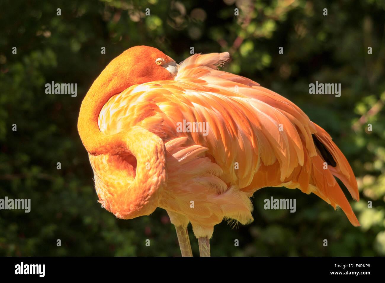 Flamingo, Bird, Aves, Phoenicopterus minor - Stock Image