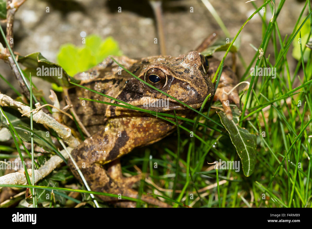 Common frog (Rana temporaria) in between blades of grass, Bavaria, Germany - Stock Image