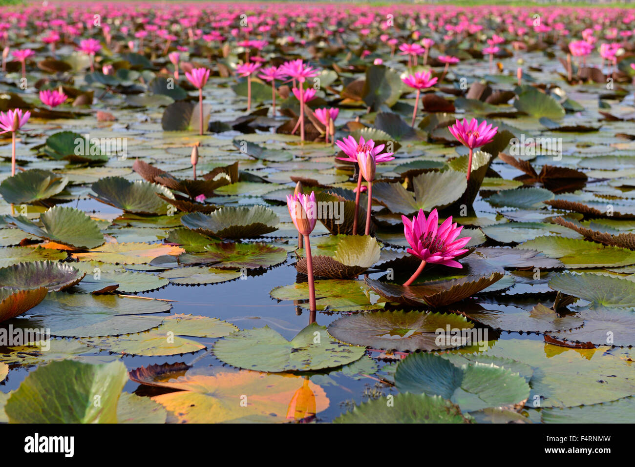 Indian red water lily nymphaea stock photos indian red water lily red indian water lily water lily open flower tale noi patthalung izmirmasajfo