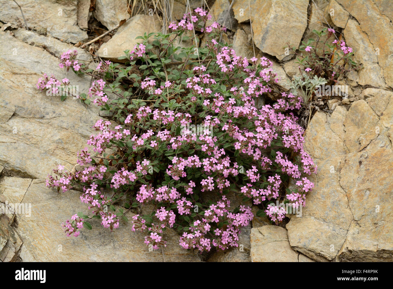 Bouncing Bet, Common Soapwort, Saponaria officinalis, Caryophyllaceae, flower, blossoms, plant, Getwing, Canton, - Stock Image