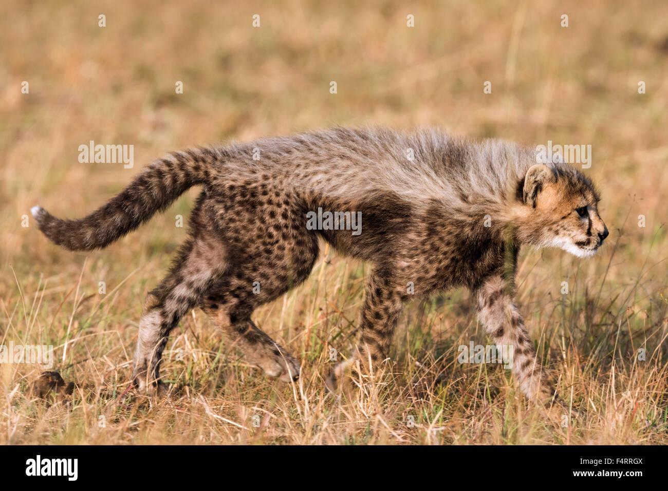 Cheetah (Acinonyx jubatus), six-week-old cheetah cub exploring its surroundings, Maasai Mara National Reserve, Narok - Stock Image