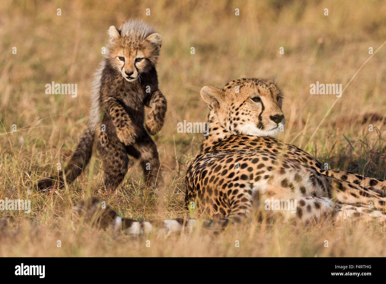 Cheetah Fur Close Up Cheetah Acinonyx Jubat...