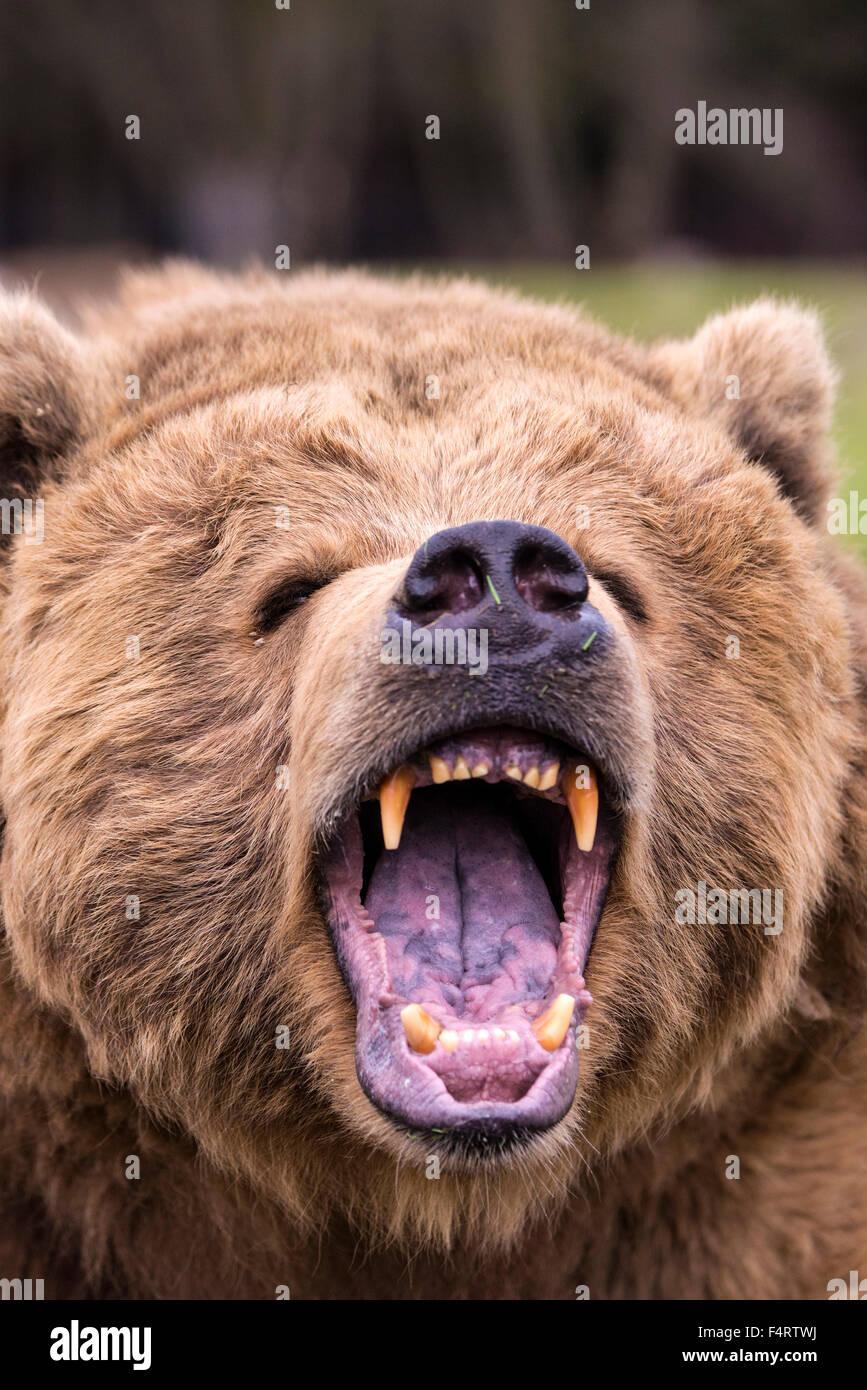 grizzly bear, ursus arctos, bear, animal, USA, head, teeth, furious - Stock Image