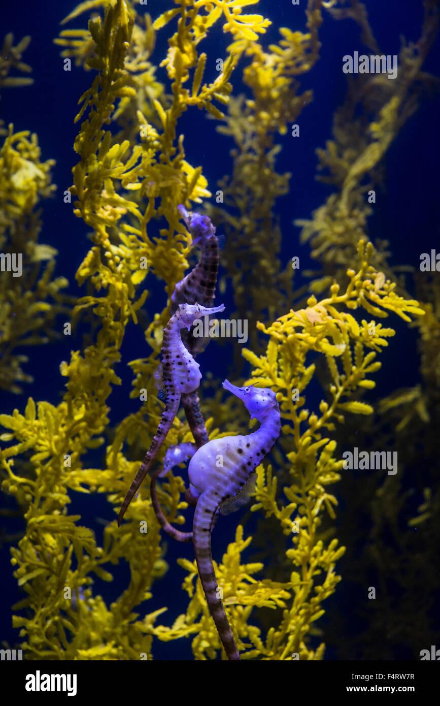 potbelly seahorse, fish, animal, seahorse, Hippocampus abdominalis - Stock Image