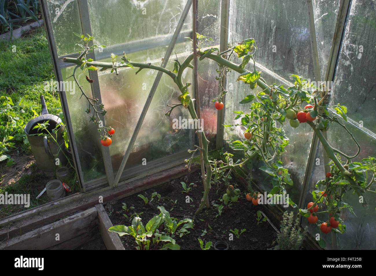 The last of the tomatoes on an autumn day in a damp greenhouse - Stock Image