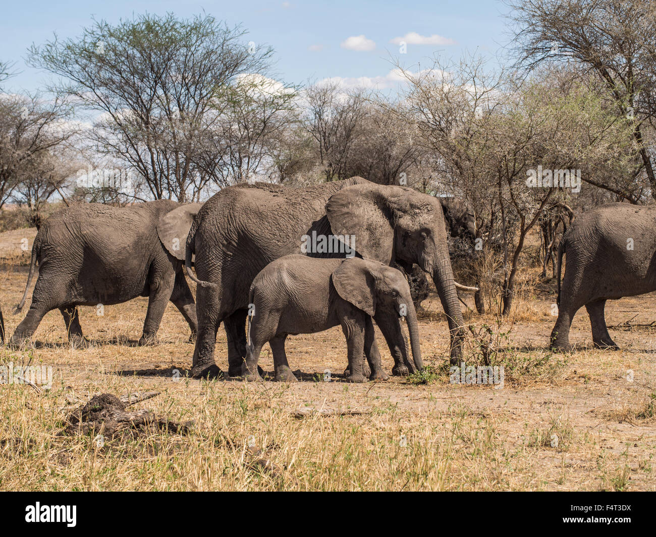 Herd of elephants in Tarangire National Park in Tanzania, Africa. Mother with one tusk and a baby in the focus. - Stock Image