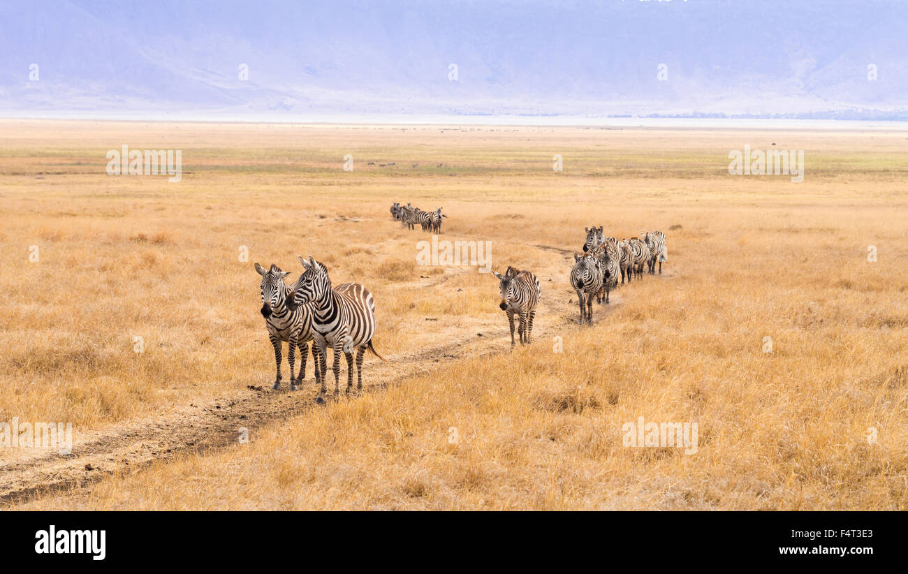 Group of zebras walking thorugh the Ngorongoro Crater in Africa, in the rain. - Stock Image