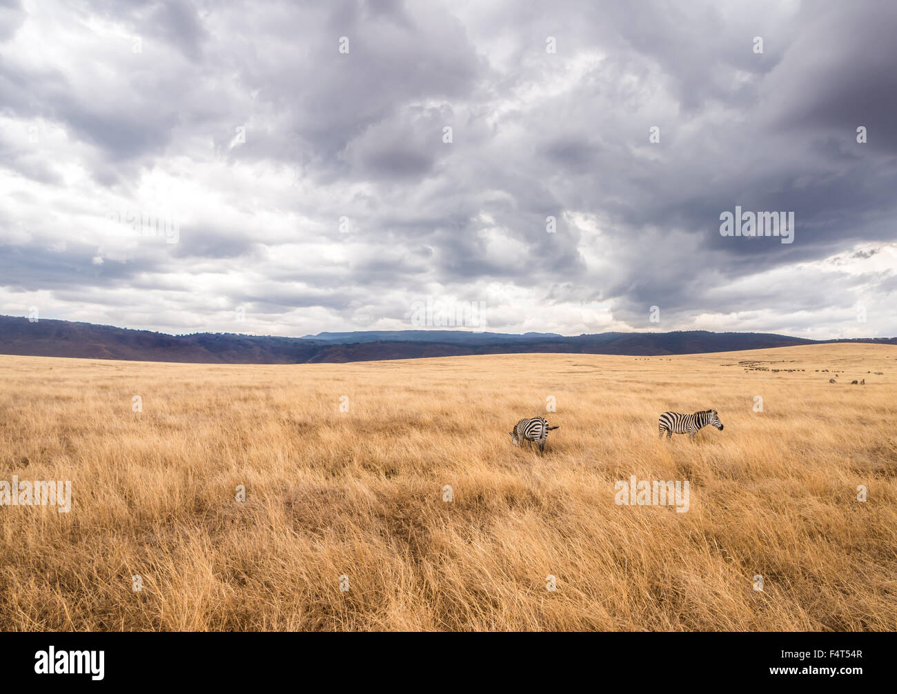 Zebras in Ngorongoro Crater in Africa. Heavy rain coluds in the background. - Stock Image