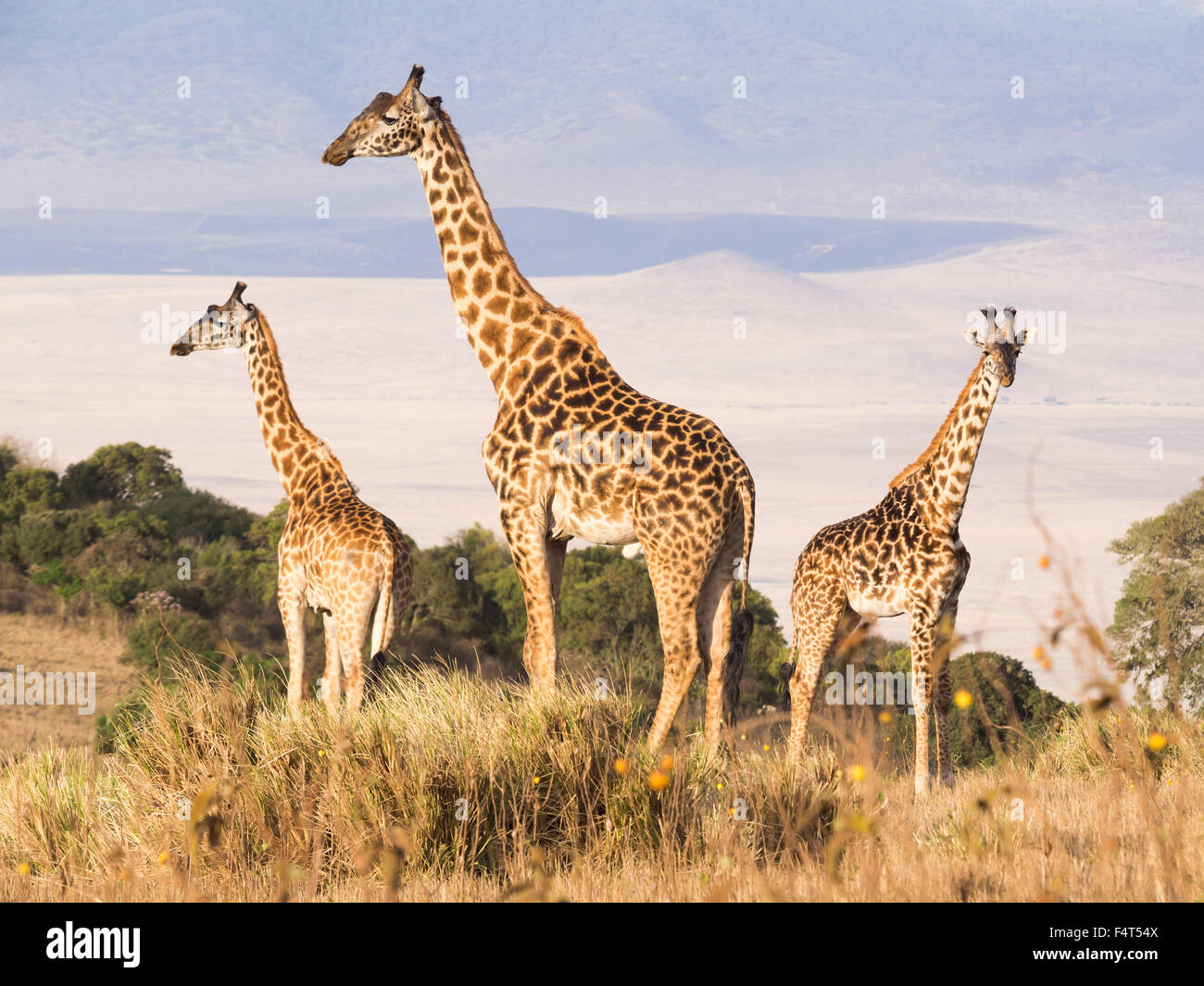 Herd of giraffes on the rim of the Ngorongoro Crater in Tanzania, Africa, at sunset. - Stock Image