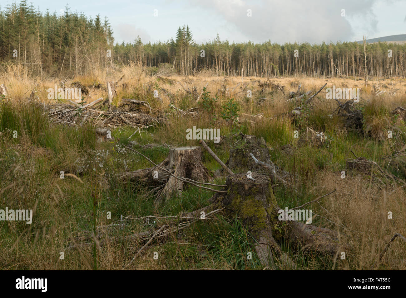 Spruce plantation partially harvested,Sheriffmuir,Perthshire,Scotland,UK, - Stock Image