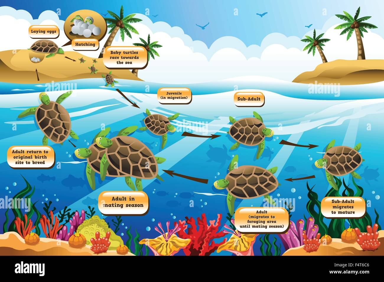 A vector illustration of life cycle of the sea turtle - Stock Vector