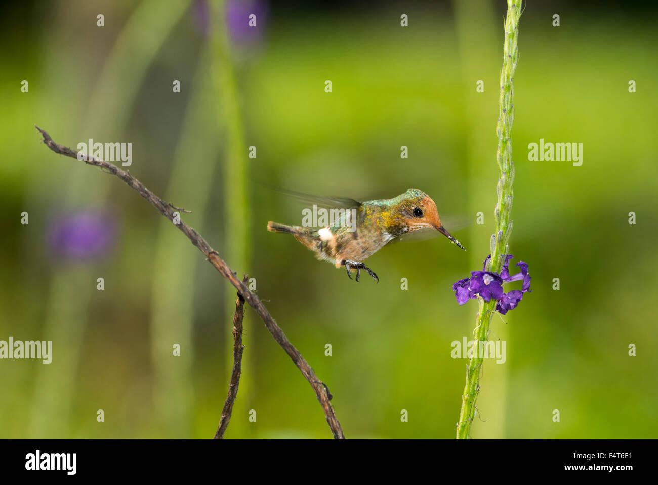 South America, Latin America, Peru, Manu National Park, Hummingbird - Stock Image