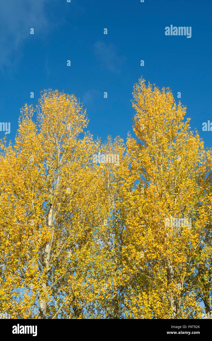 Populus tremula. Aspen trees changing colours in autumn against a blue sky in the Scottish borders. Scotland - Stock Image