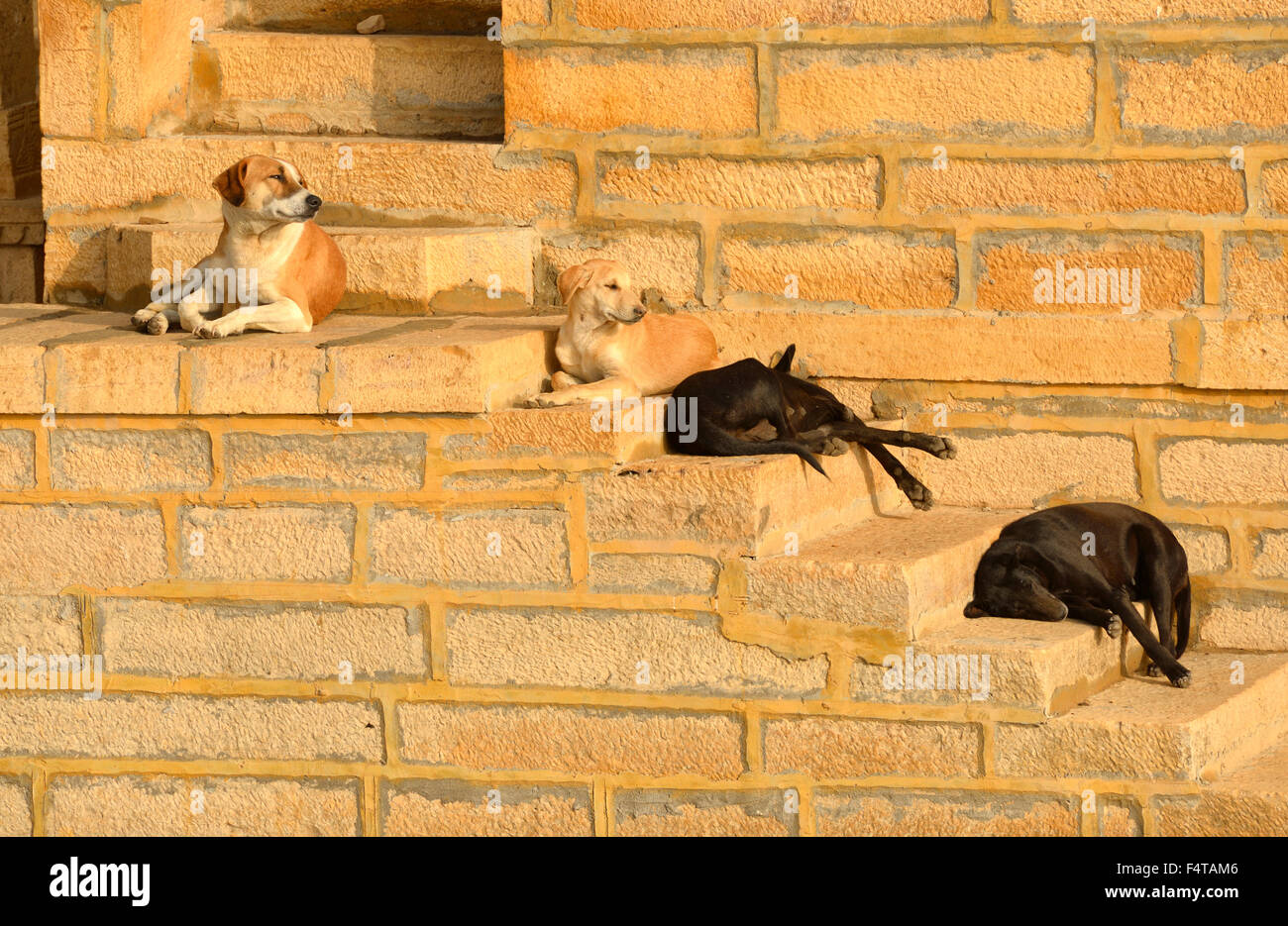 Asia, India, Rajasthan, Jaisalmer, dogs sleeping on stair - Stock Image