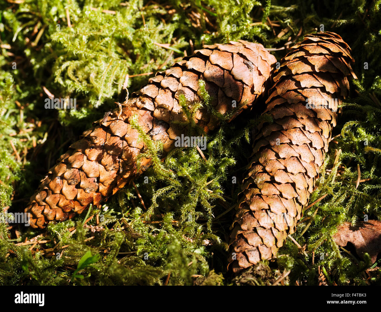 Fir cones in the moss - Stock Image