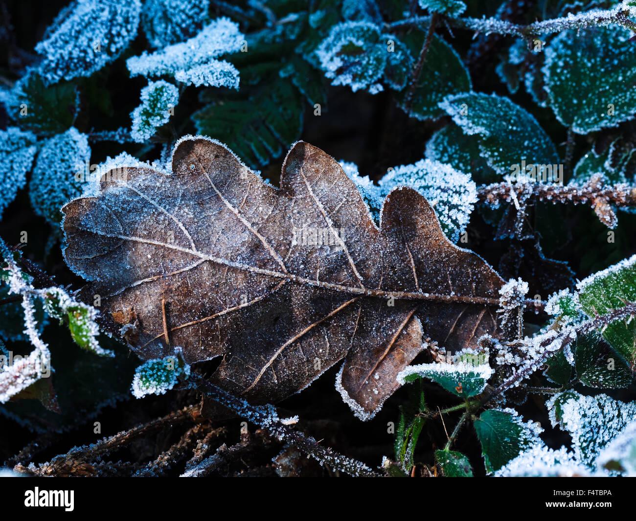 Oak leaf on blackberry Stock Photo