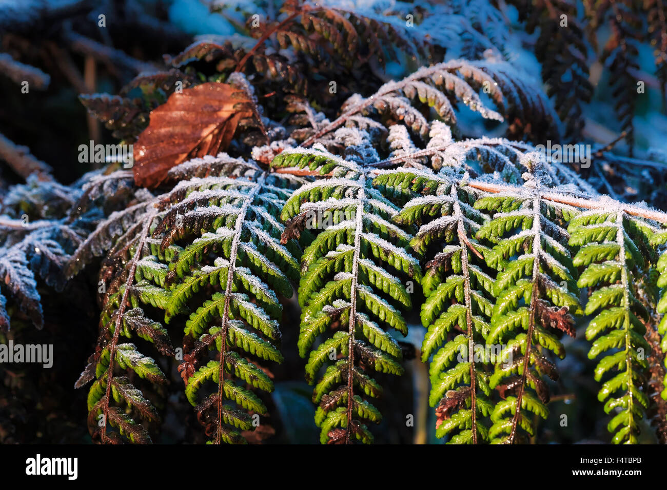 Fern whisk with beech, - Stock Image