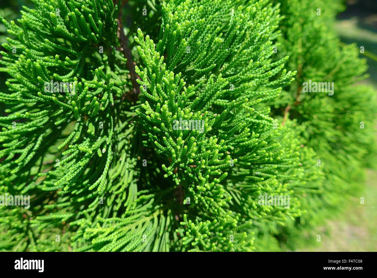 The close view of conifer leaves at park - Stock Image