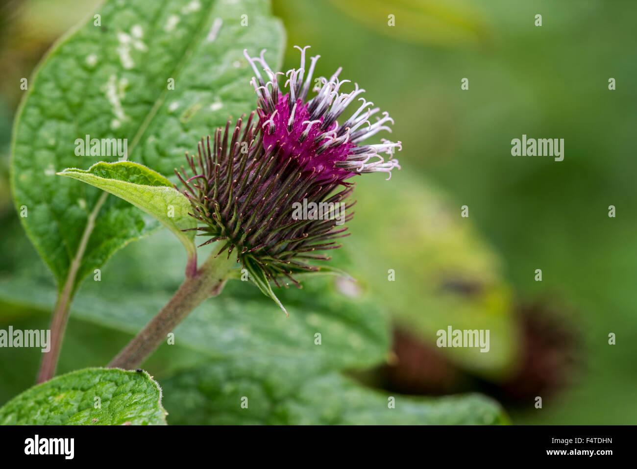 Lesser burdock / burweed / louse-bur / common burdock (Arctium minus) in flower - Stock Image
