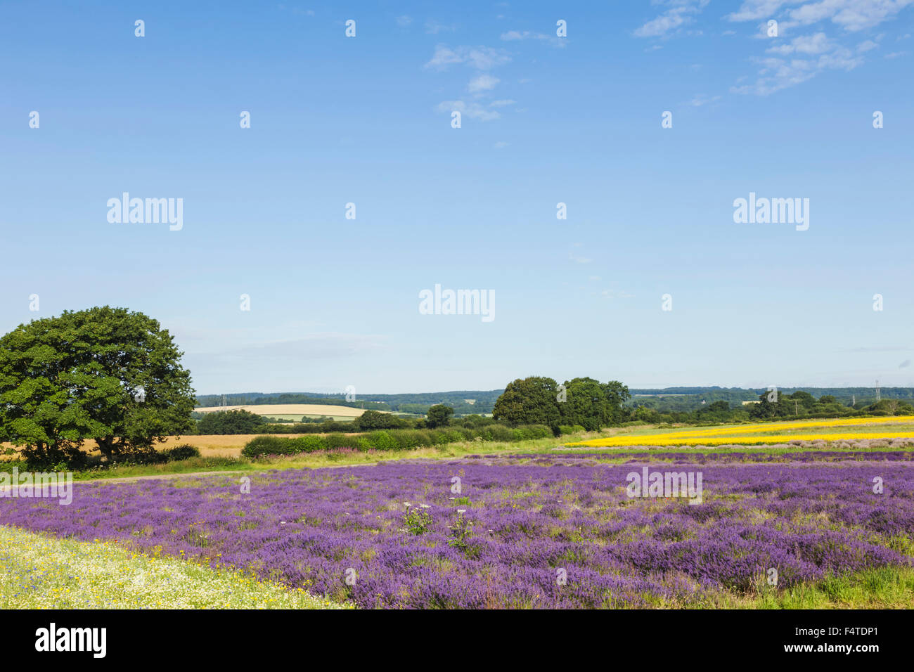 England, Hampshire, Lavender Fields - Stock Image