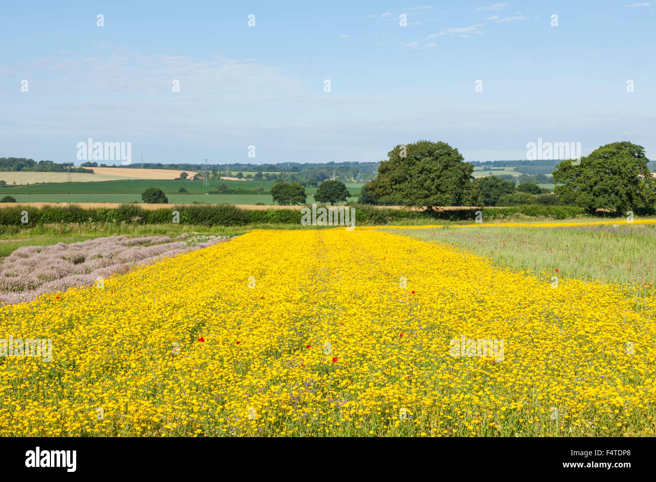 England hampshire yellow flowers and lavender fields stock photo england hampshire yellow flowers and lavender fields mightylinksfo