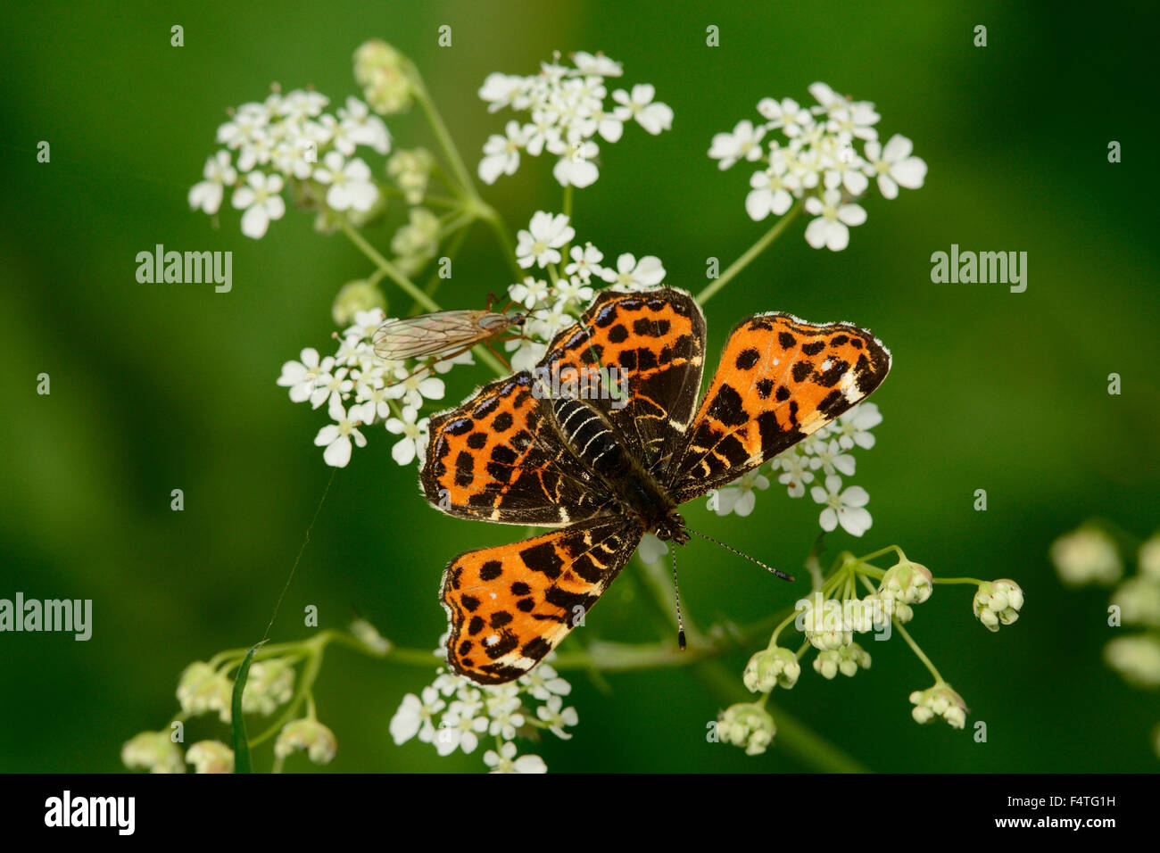 Map, Araschina levana, Nymphalidae, spring brood, butterfly, insect, animal, pond area, Linum, Brandenburg, Germany - Stock Image