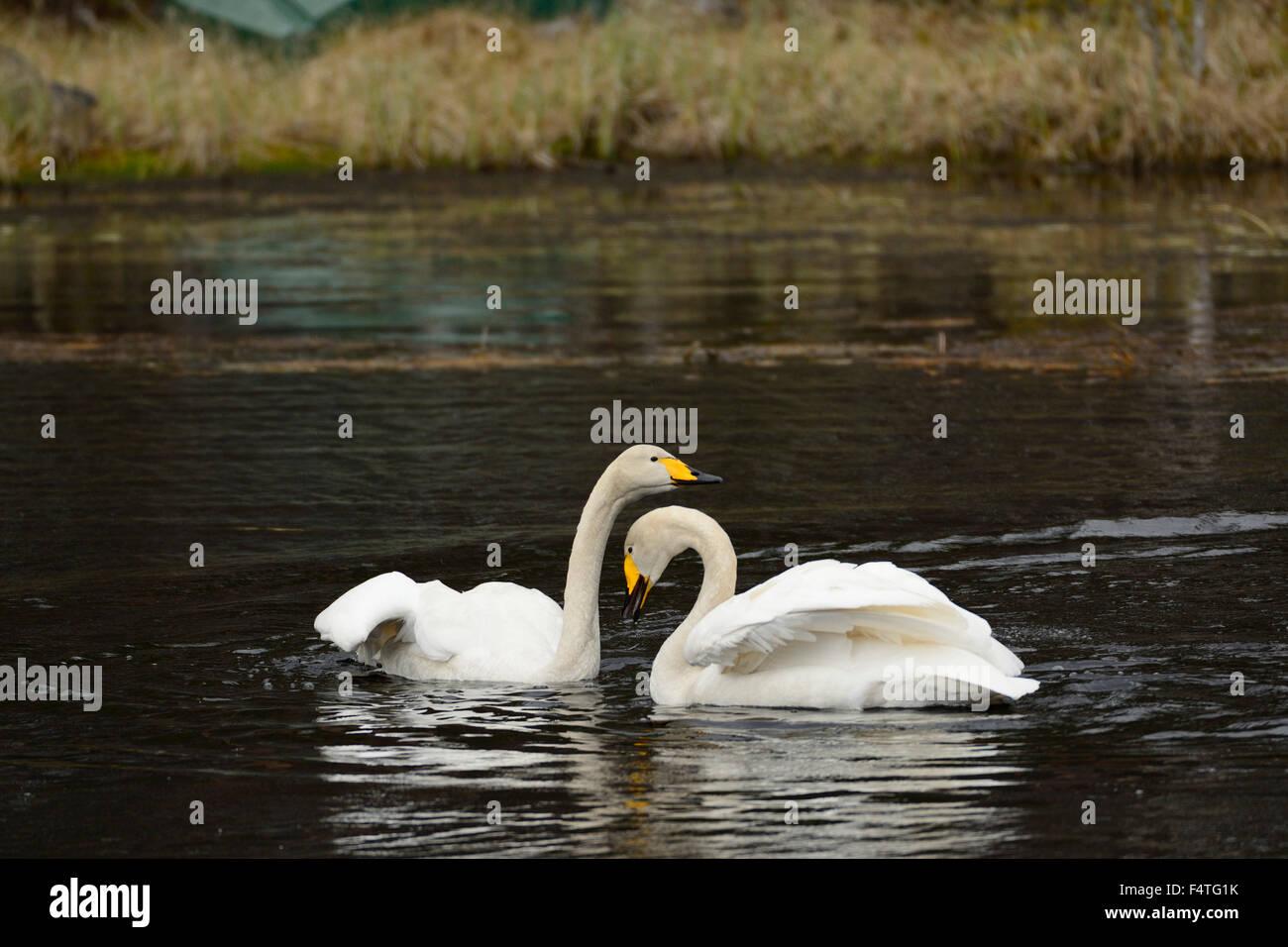 Hooper Swan, Cygnus cygnus, Anatidae, display, Swan, bird, animal, Lutnes, Hedmark, Norway - Stock Image