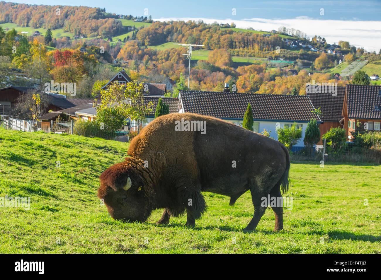Bison breeding in Lutzenberg, - Stock Image
