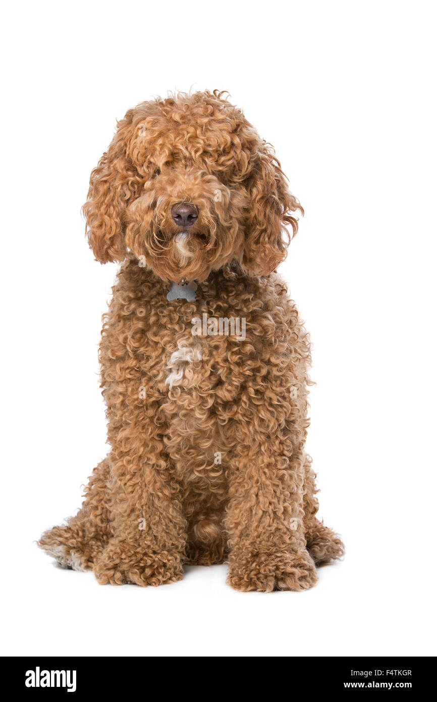 brown Labradoodle sitting in front of a white background - Stock Image