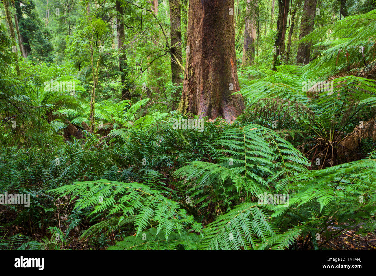 Great Otway, National park, Australia, Victoria, wood, forest, ferns Stock Photo