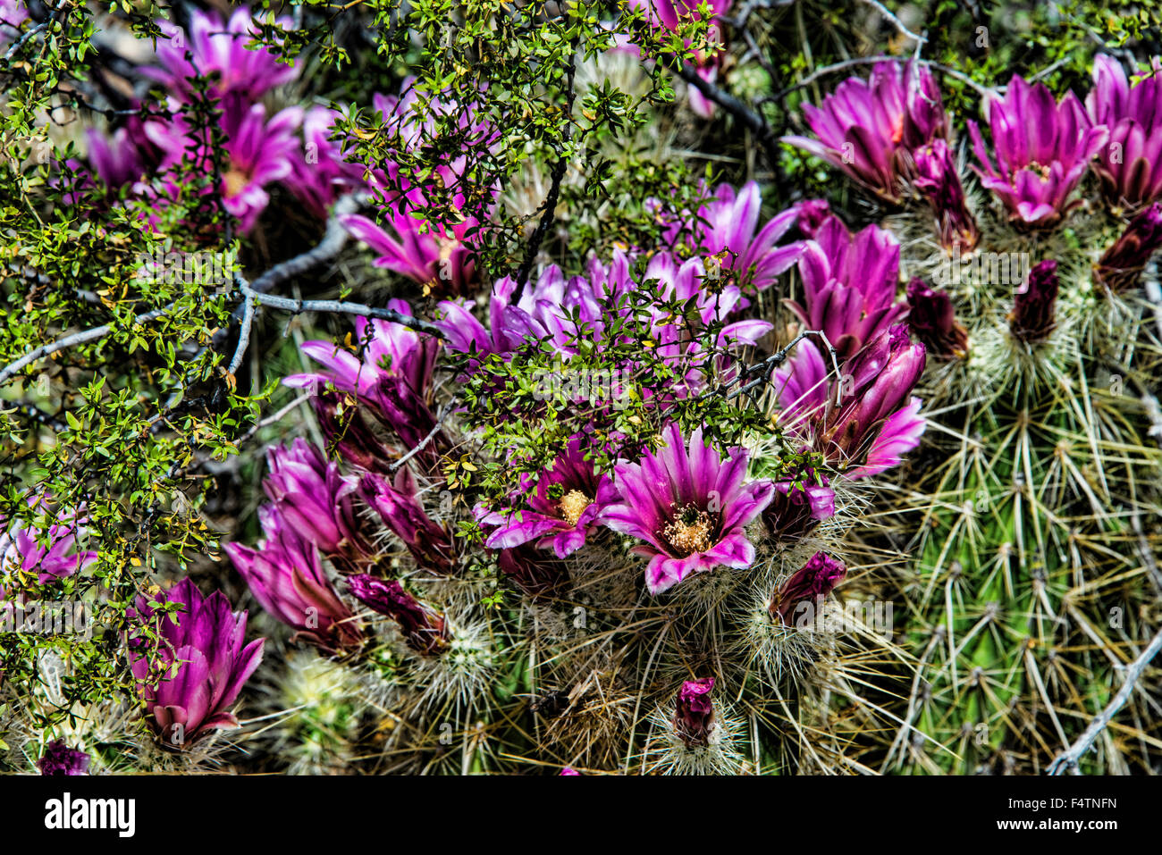 hedgehog cactus, cactus, bloom, Echinocereus spp., Arizona, USA, America, plant - Stock Image