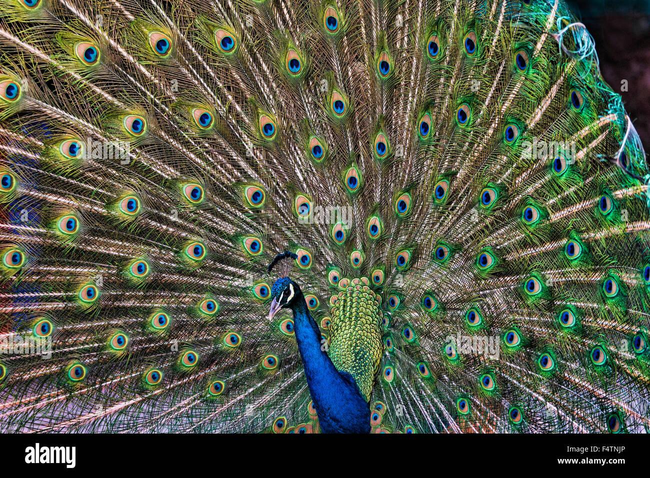 male, peacock, indian peafowl, pavo cristatus, bird - Stock Image