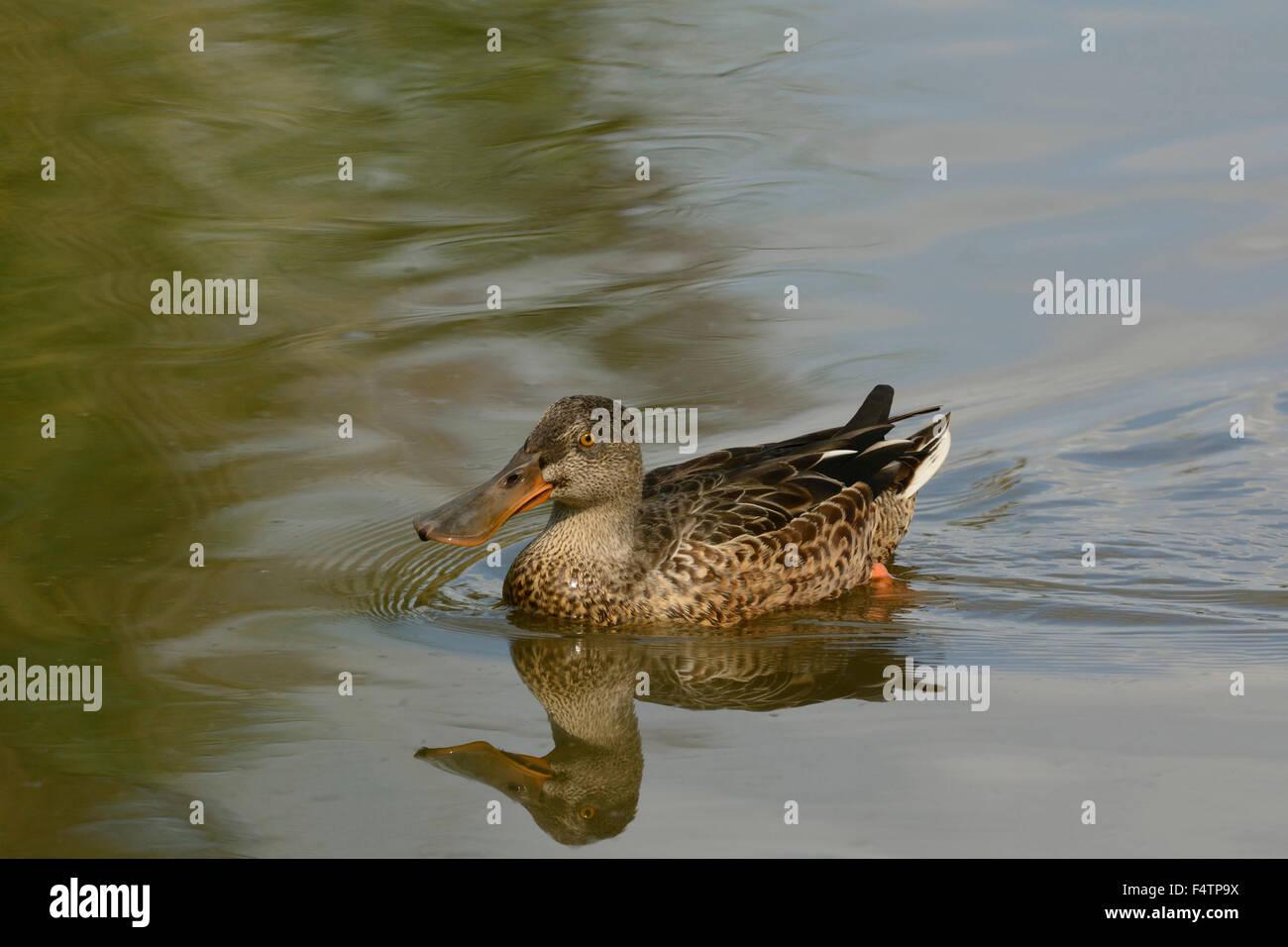 European shoveler, Anas clypeata, Anatidae, duck, bird, animal, marsh of Neerach, nature reserve, canton of Zurich, - Stock Image