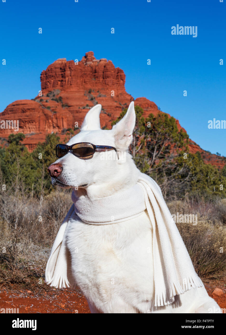 White German Shepherd wearing sunglasses and scarf, with Bell Rock in the distance - Stock Image