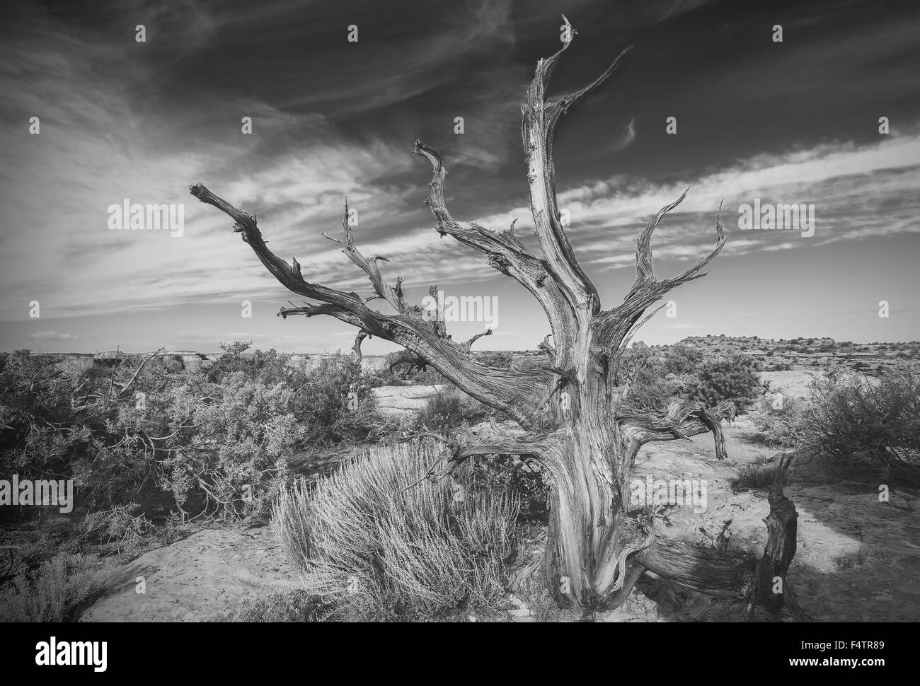 Black and white photo of lonely dead tree on desert. - Stock Image