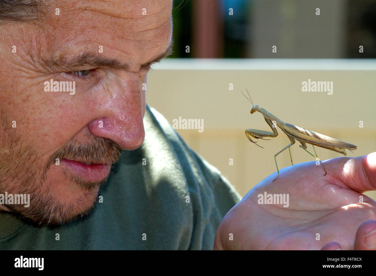 Praying mantis in Boise, Idaho,  USA. - Stock Image
