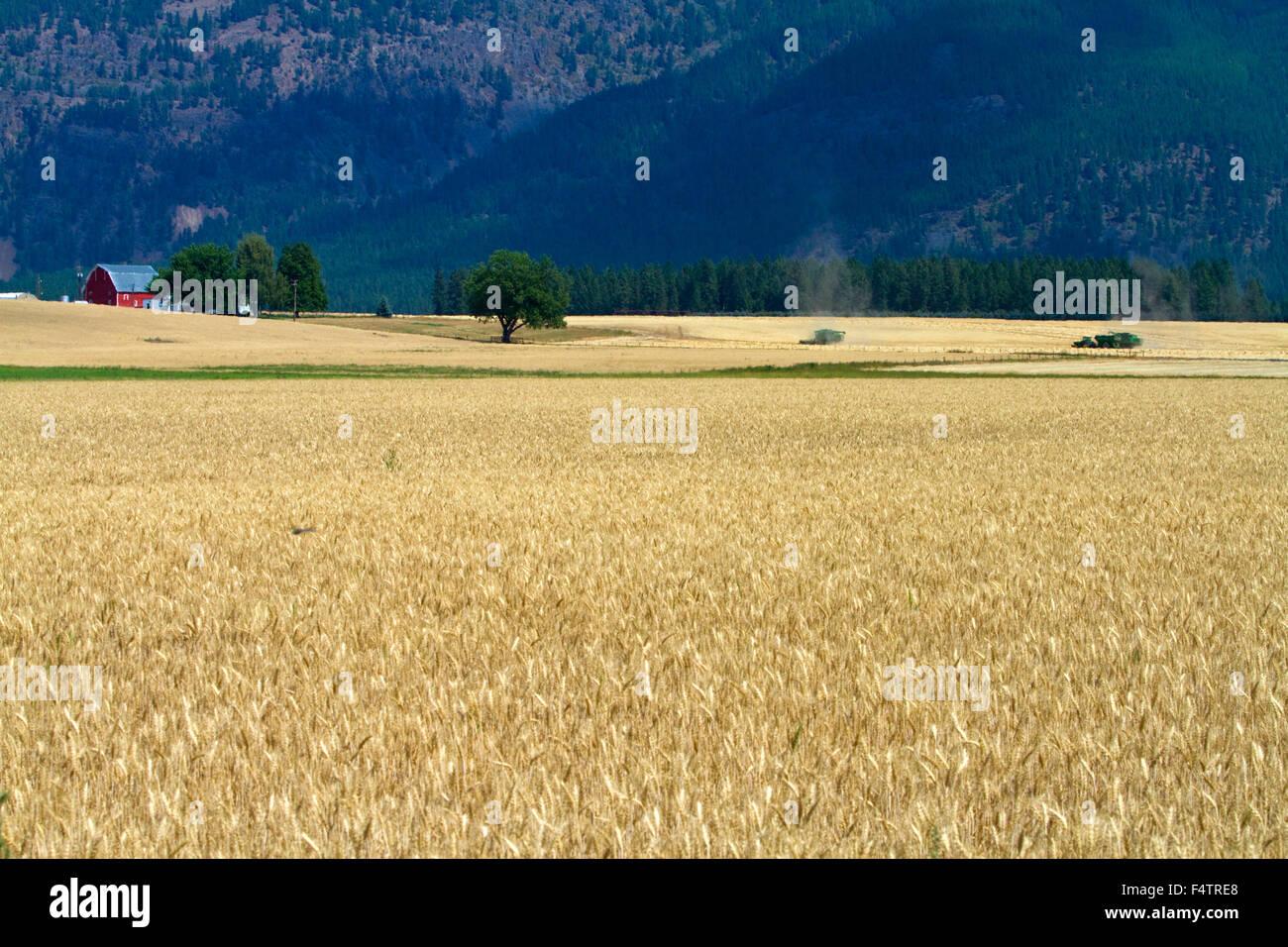 Ripe wheat field near Kalispell, Montana, USA. - Stock Image