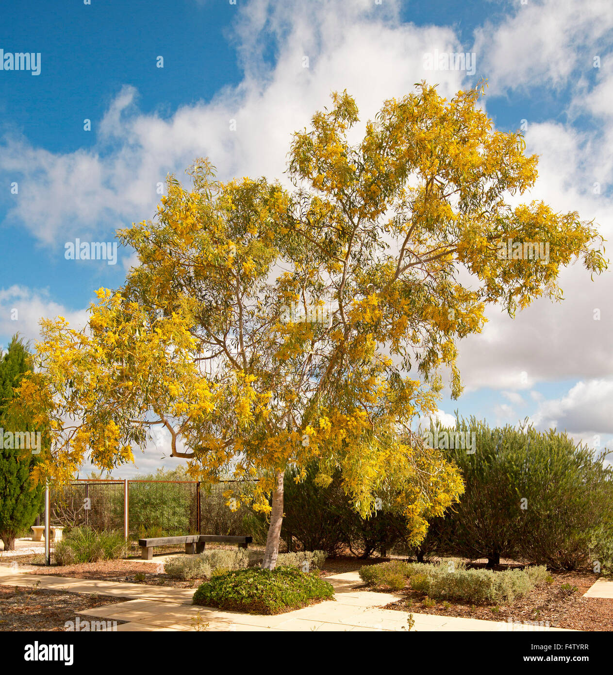 Acacia Pycnantha Golden Wattle Tree With Mass Of Yellow Flowers
