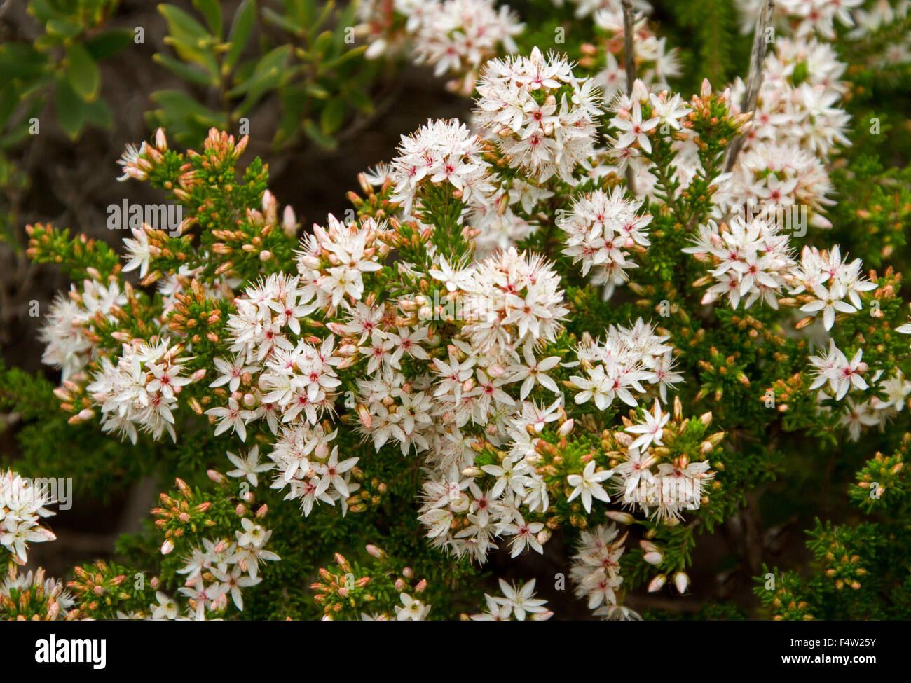 Australian flowers white background stock photos australian cluster of white pale pink flowers of calytrix tetragona fringe flower with foliage mightylinksfo