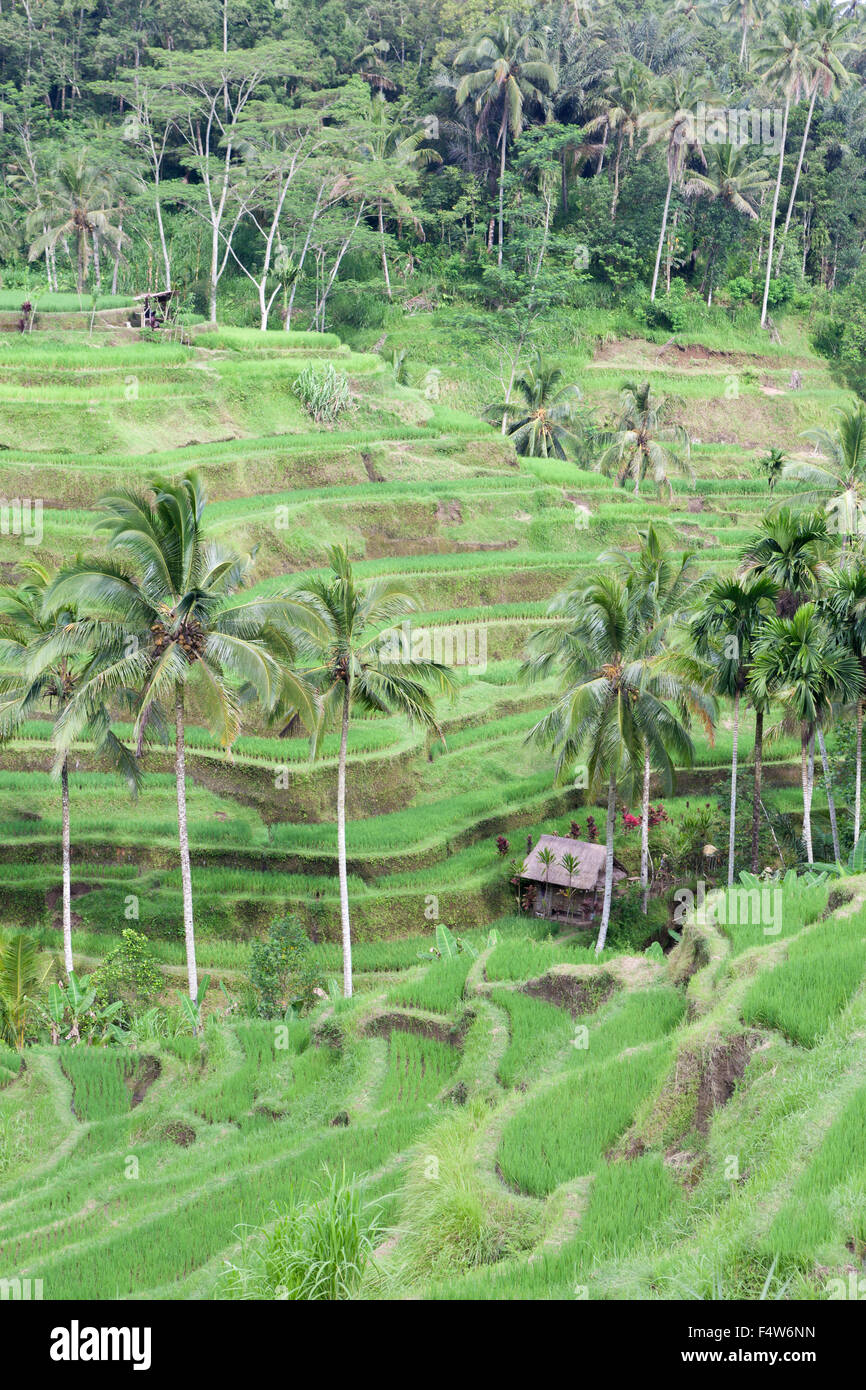 Rice terraces near Tegallalang, Bali, Indonesia - Stock Image