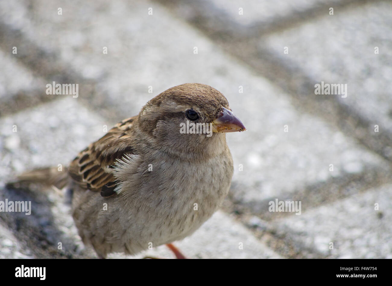 Sparrow searching something to eat near domestic house Stock Photo