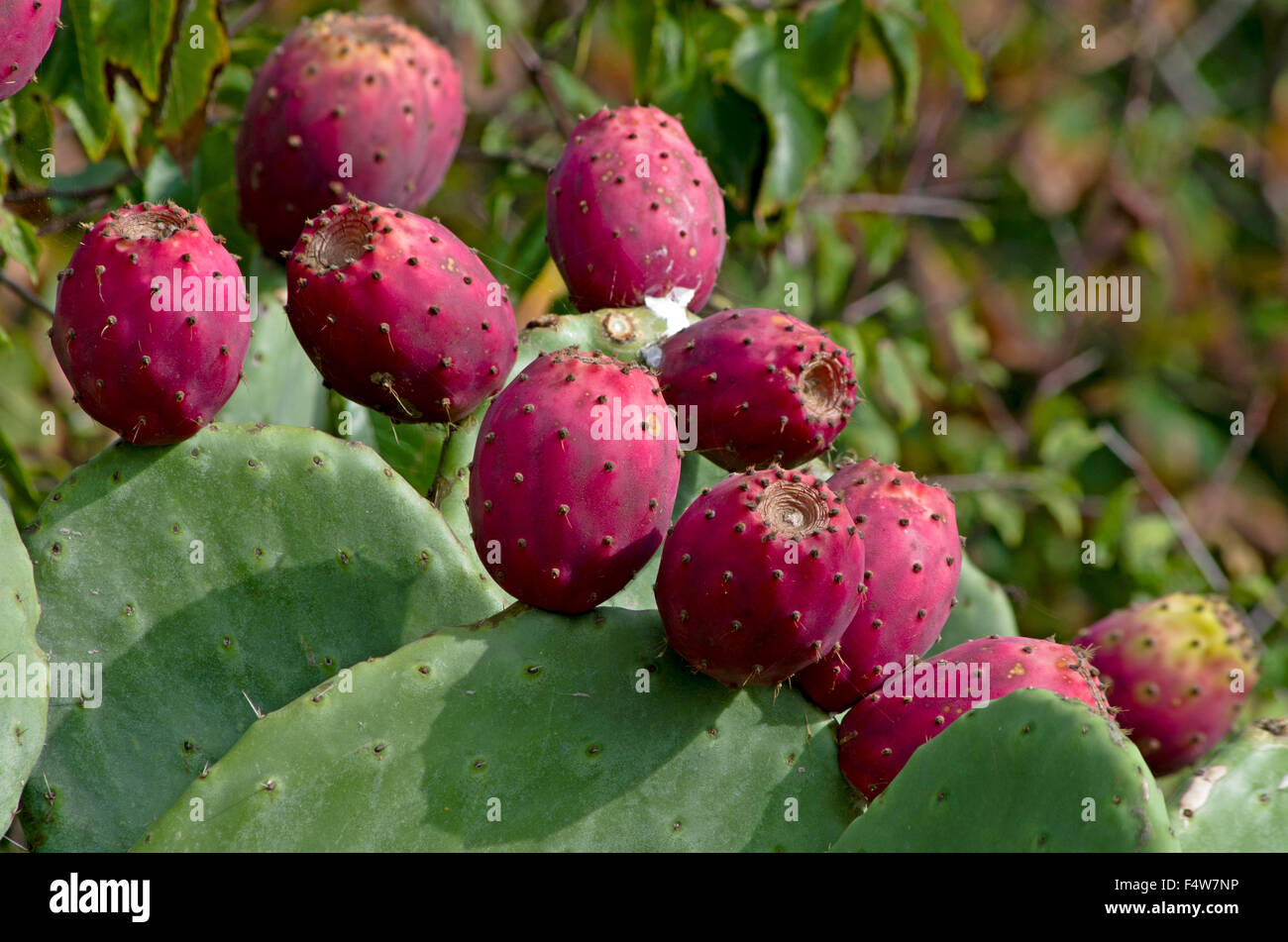 Red and ripe prickly pear on the plant of Opuntia Ficus Indica - Stock Image