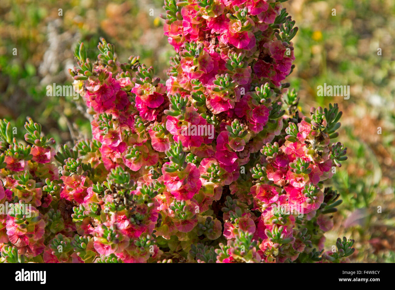 Cluster of bright pink red flowers leaves of maireana brevifolia cluster of bright pink red flowers leaves of maireana brevifolia syn kochia yanga bush australia bluebush in outback mightylinksfo