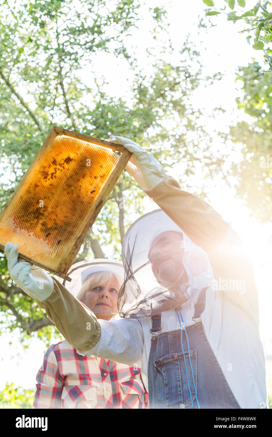 Beekeepers in protective clothing examining bees on honeycomb - Stock Image