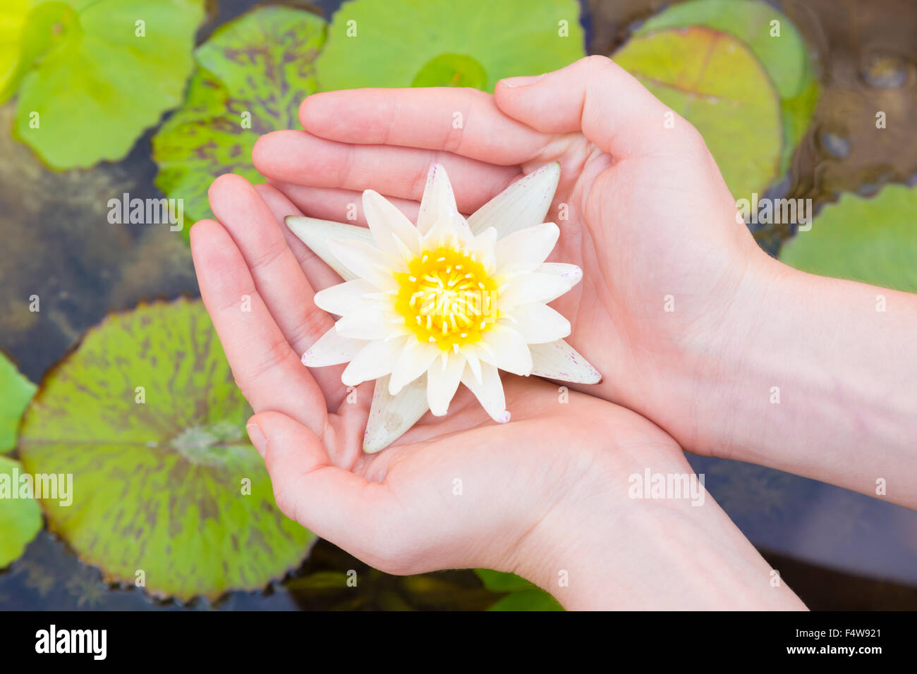 Woman Hands Holding Lotus Flower Stock Photo 89066377 Alamy