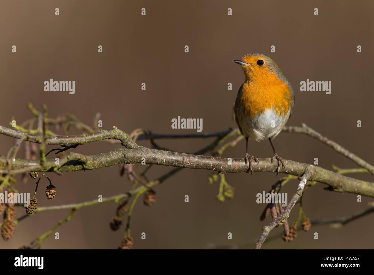 Robin, European robin, Rotkehlchen, Erithacus rubecula, Le Rouge-gorge familier - Stock Image