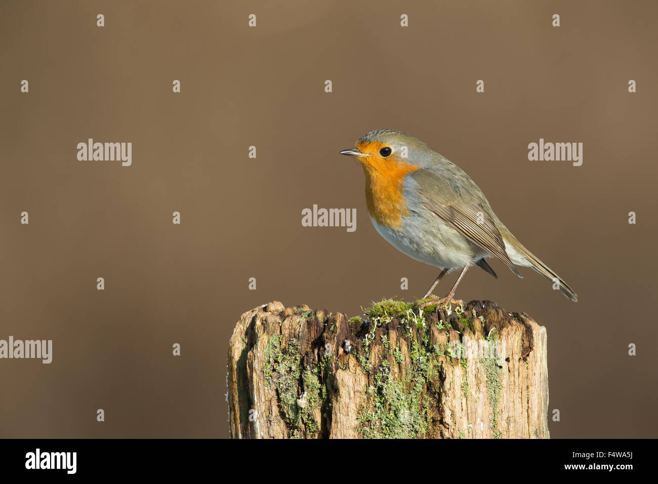 Robin, European robin, Rotkehlchen, Erithacus rubecula, Le Rouge-gorge familier - Stock Image