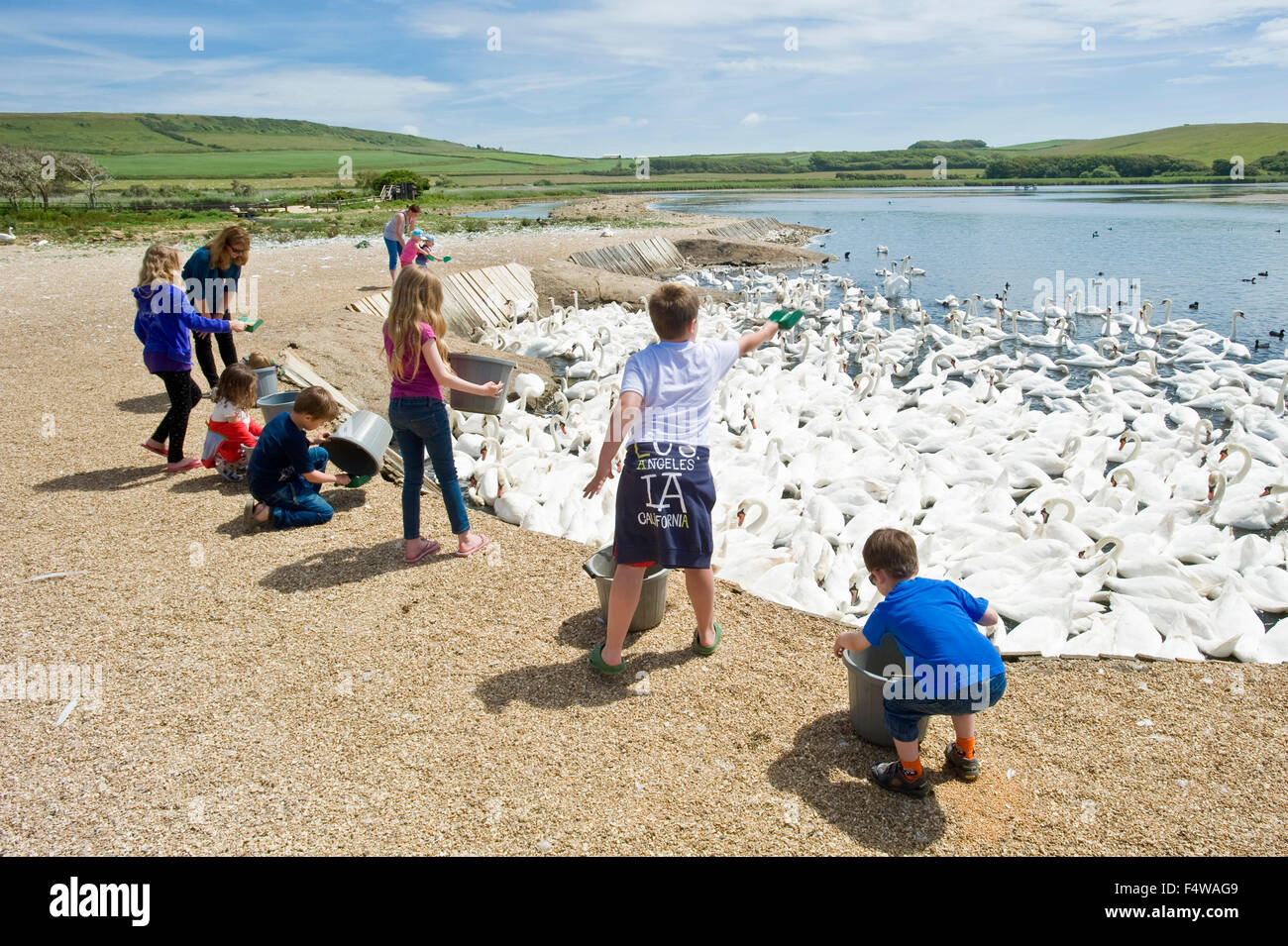 Feeding time at the Abbotsbury swan sanctury with children invited to feed corn to the birds. - Stock Image
